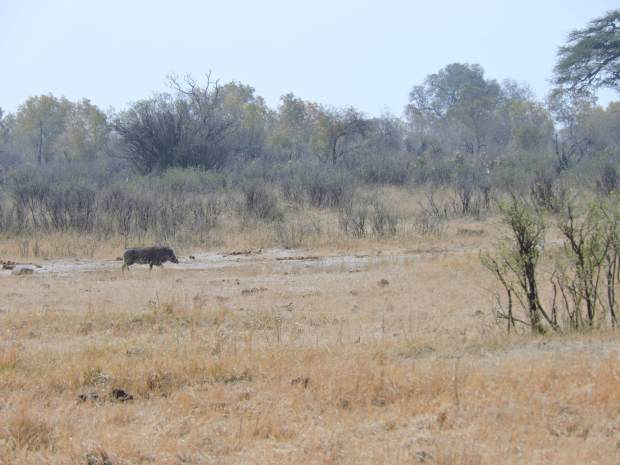 The warthog sees her and runs away!