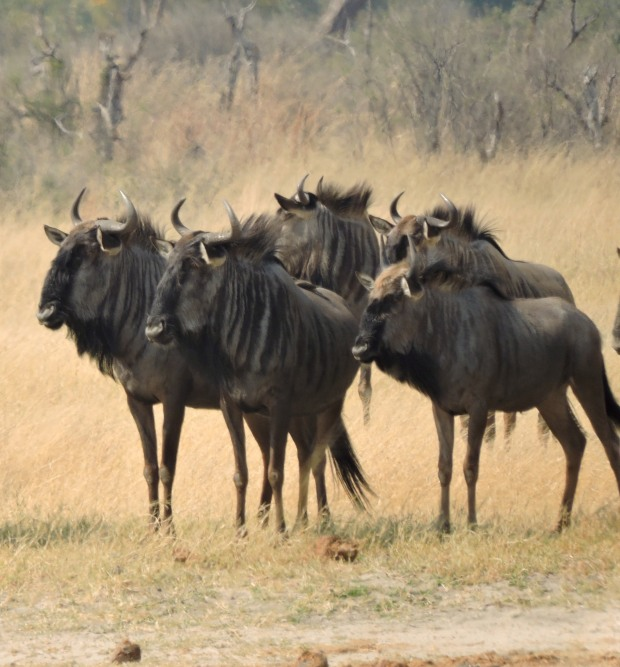 The wildebeest did not take their eyes from the lions!