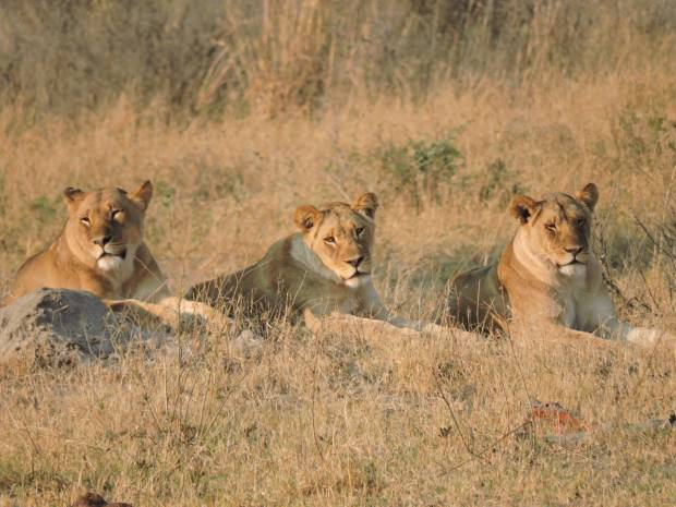 The three lionesses prior to the failed hunt.