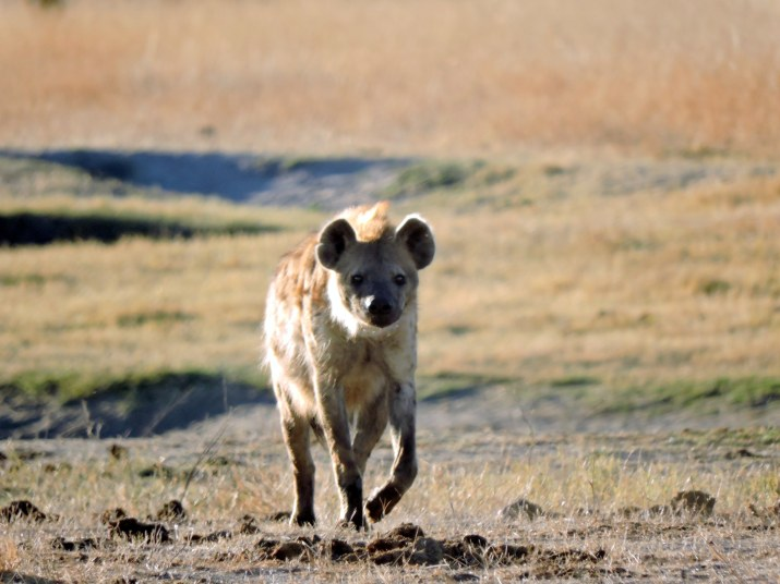 The hyena moving.