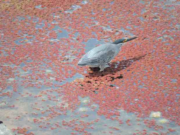 Green-backed heron fishing.