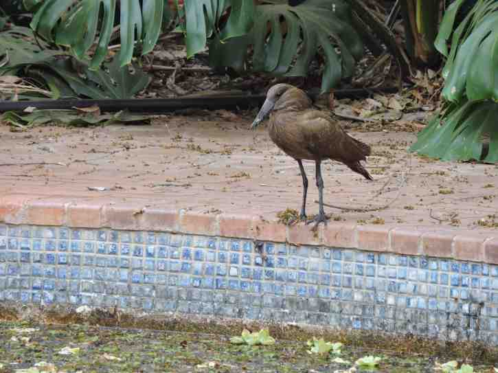 The hamerkop taking up position by the pool.