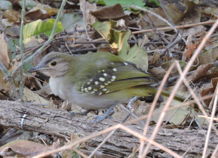 """A """"Chitake special""""! An Eastern Nicator looking for insects in the undergrowth."""