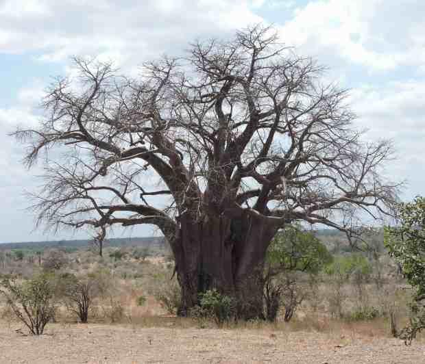 A fine baobab.