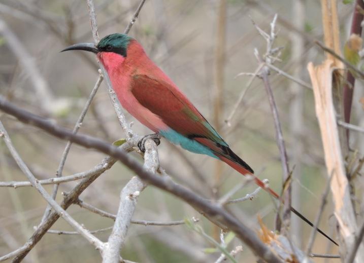 A carmine bee-eater.