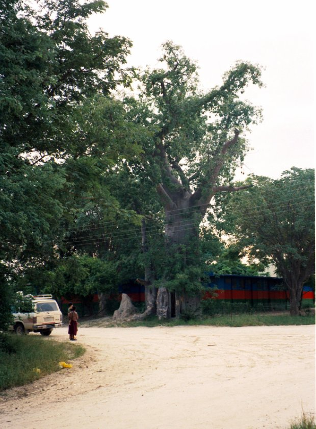 "The ""toilet baobab"" at Katima Mulilo, Namibia."