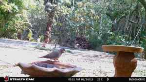 A laughing dove.