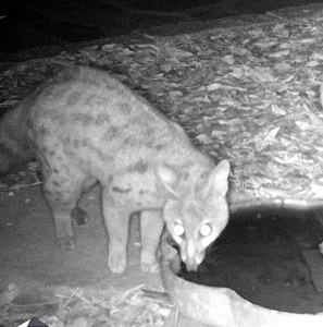 The African civet drinking.