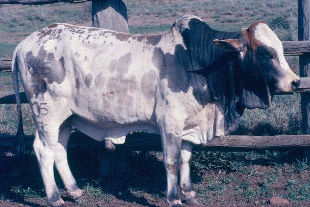 A Boran young bull at Mutara ranch, Kenya.