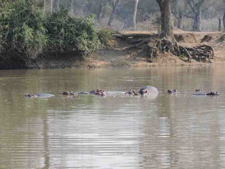 Long pool and hippos.