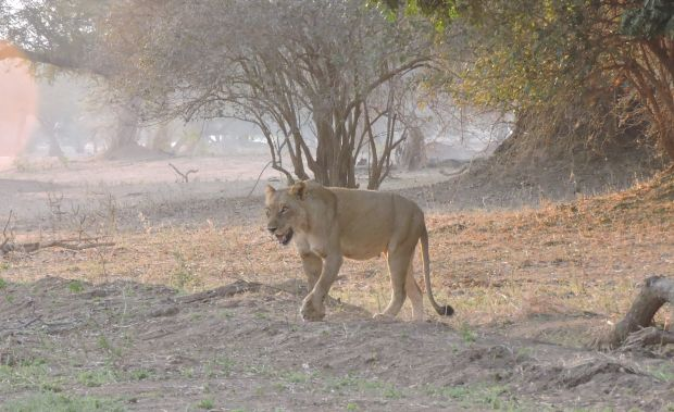 Lioness moving back to the thicket after drinking.