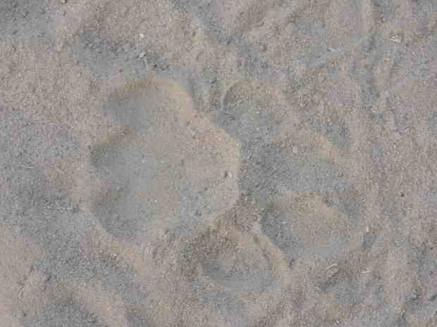 Lion spoor around our camp.