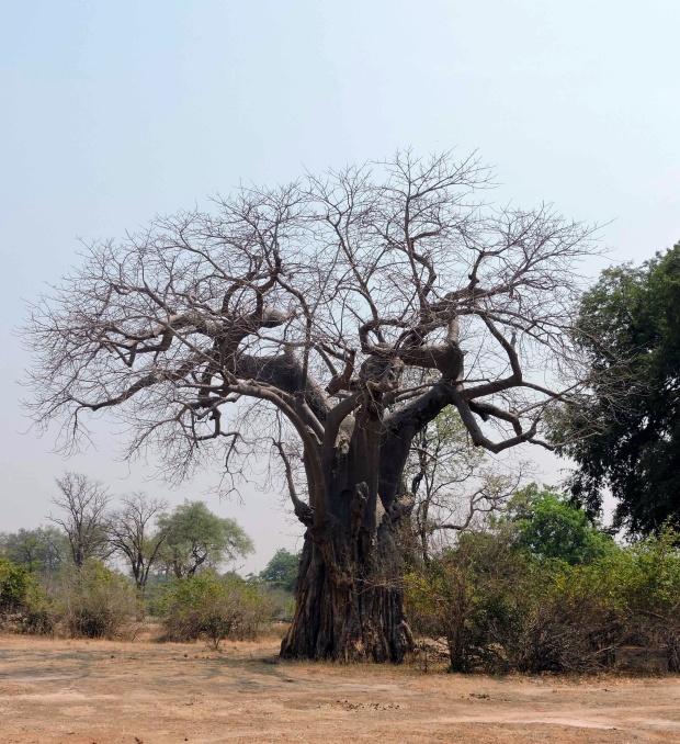 The baobab tree.