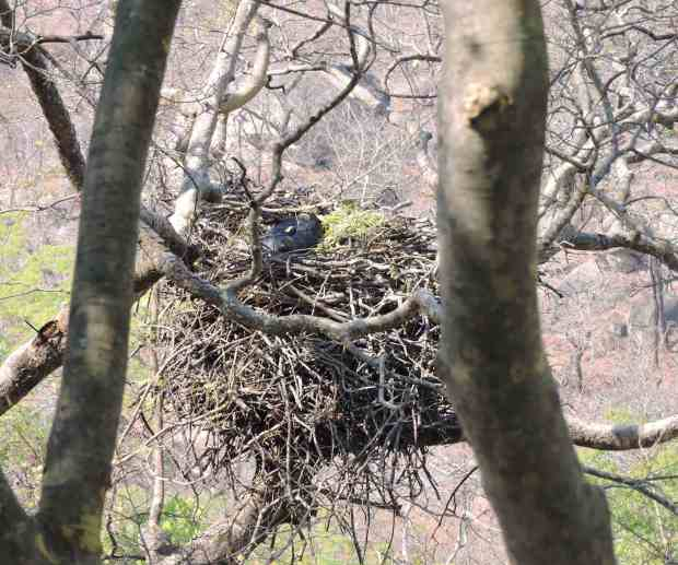 """The eagle """"sunk"""" in the nest."""