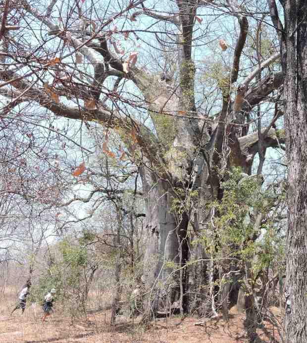 The baobab.