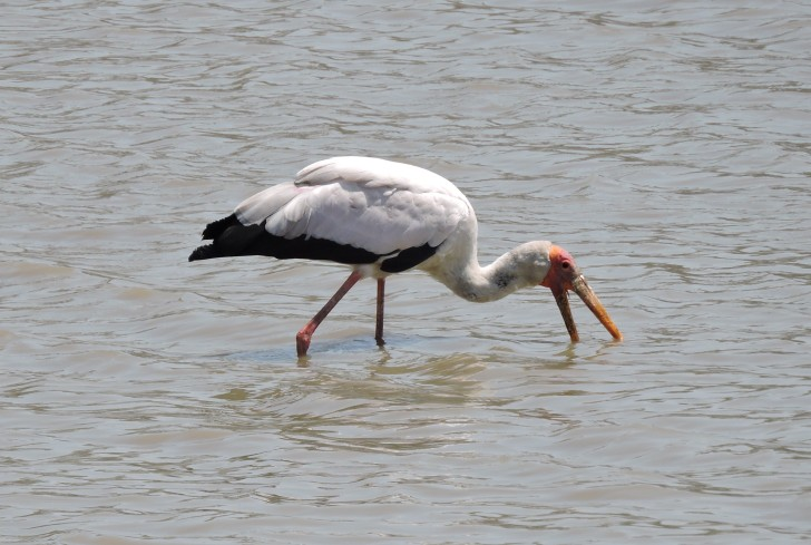 Typical African yellow billed stork feeding pose.
