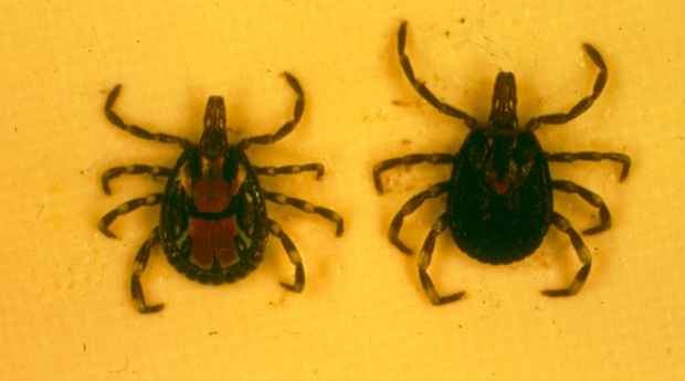 Bont ticks male (left) and female. A bad picture.