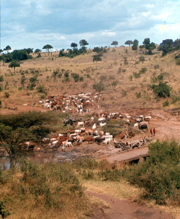 Maasai cattle at the Mara River bridge on the way to the Transmara.