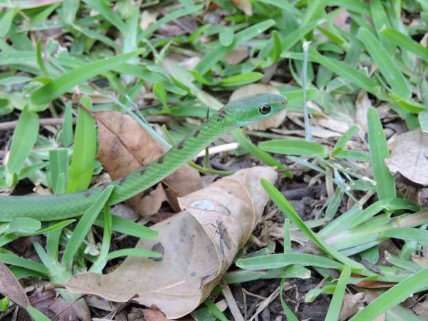 A green grass snake.