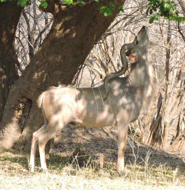 Greater kudu browsing under the shade.
