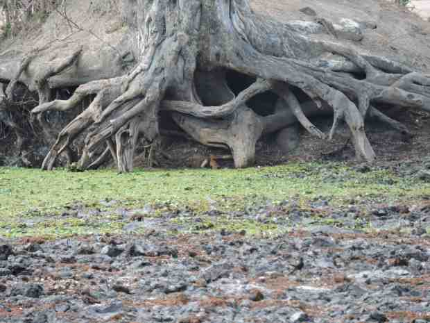 A rather dry Chine pool with a slender mongoose in the tree roots at the back.