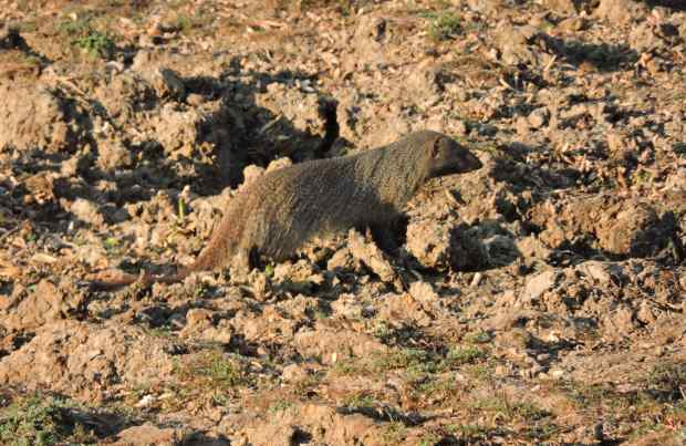 A grey mongoose searching for food in the drying mud.