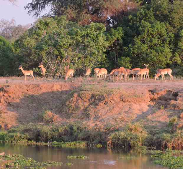 Impala by the river.