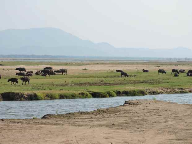 Buffalo taking advantage of the grass by the river.