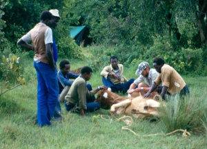 Ernest and helpers examining an animal for ticks.