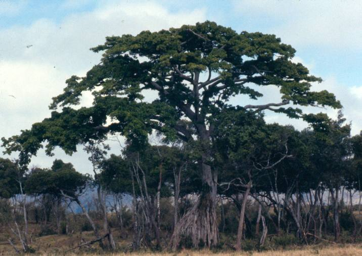 A notable tree in the Migori river forest.