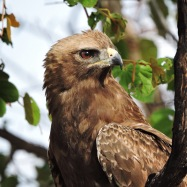 An African black kite.