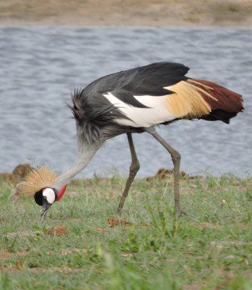 Crowned crane.