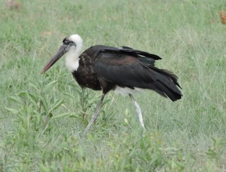Wooly-necked stork.
