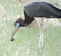 Abdim stork with unfortunate dung beetle!