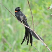 Red-collared Widowbird. Vumba.
