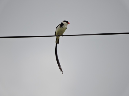 Pin-tailed Wydah. Vumba area.