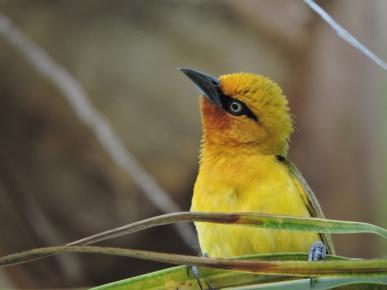 Female Spectacled Weaver