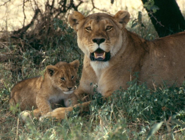 lioness and cubs other copy
