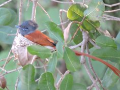Immature Paradise flycatcher male