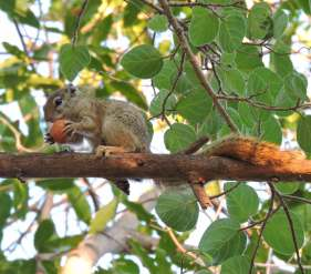 A squirrel enjoying a fig.