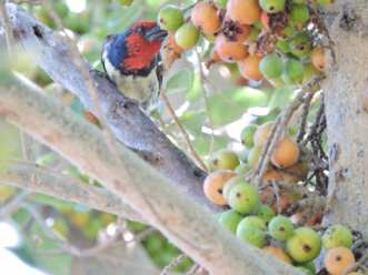Black-collared barbet.
