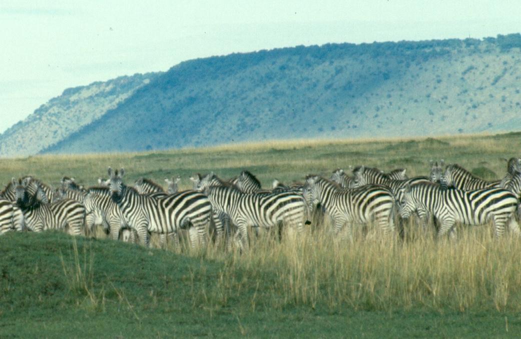 13 - zebra copy 2