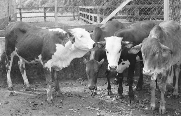 Cattle grroming copy