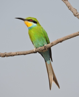 Swallow-tailed bee-eater.