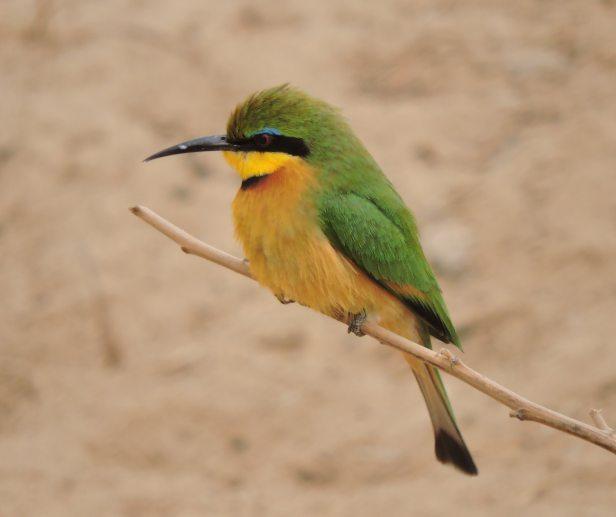 Little bee-eater.