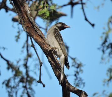 Greater honeyguide.