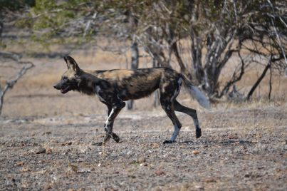 Wild dogs seen on another occasion in Mana Pools during the day.