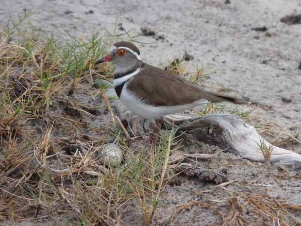 p1010653-three-banded-plover-11-10-37-am-copy