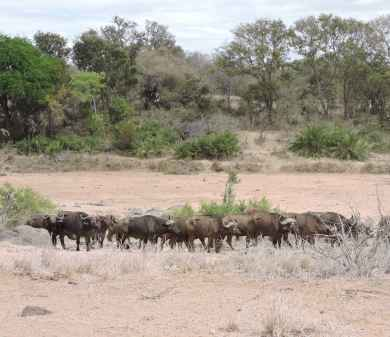 A small herd of buffalo in poor condition.