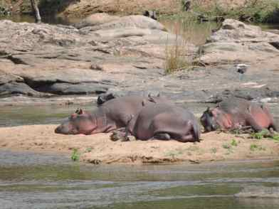 Thin hippos with skin folds.